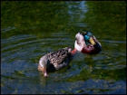 Ducks Jigsaw Puzzles - Image 2