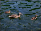 Ducks Jigsaw Puzzles - Image 3