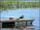 Ducks Jigsaw Puzzles - Image 5